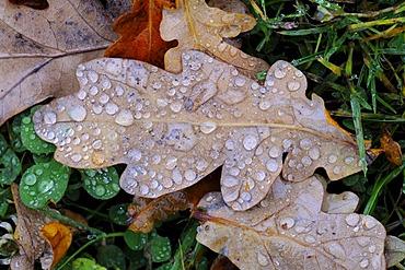 Oak leaf with raindrops, Jaegersborg, Denmark, Scandinavia, Europe