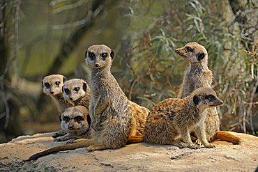 Meerkats (Suricata Suricatta), with young