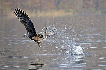 Sea eagle or White-tailed Eagle (Haliaeetus albicilla), male, adult, catching an eel