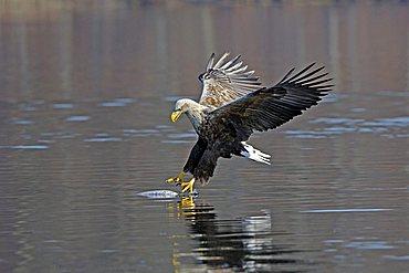Sea eagle or White-tailed Eagle (Haliaeetus albicilla), male, adult, hunting