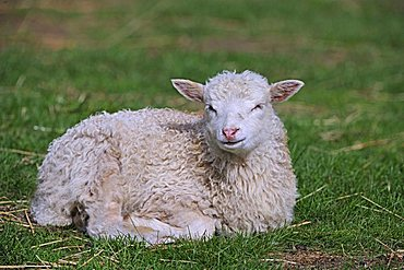 Lamb, young domestic sheep (Ovis orientalis aries), lying in a meadow