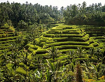 Rice paddies near Ubud, Bali, Indonesia, south-east Asia