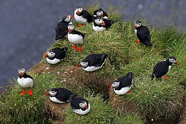 Atlantic Puffins at Cape Dyrholaey in South-Iceland Iceland (Fratercula arctica)