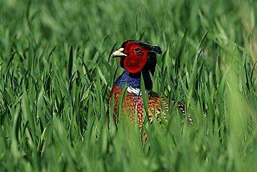 male common pheasant - pheasant cock - portrait (Phasianus colchicus)