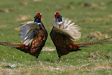 pheasants flattering with the wings - common pheasant - ring-necked pheasant - male (Phasianus colchicus)