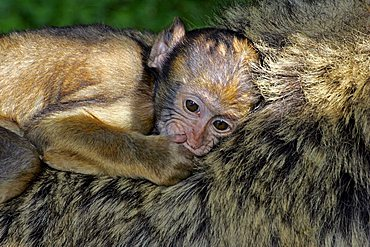 barbary apes - female with a cub on the back - barbary macaque (Macaca sylvanus)