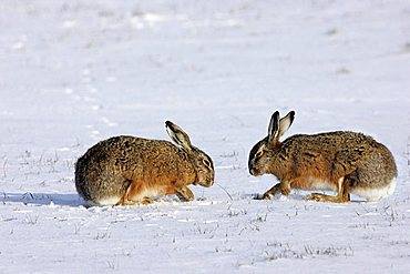 two european hares digging into the snow - foraging in winter (Lepus europaeus)