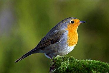 robin - european robin - redbreast- (Erithacus rubecula)