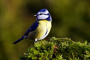 blue tit - tits - nun - tomtit - (Parus caeruleus) (Cyanistes caeruleus)