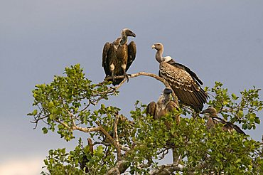 Rueppell's Vultures (Gyps rueppellii), dark stormy clouds, Masai Mara, national park, Kenya, East Africa