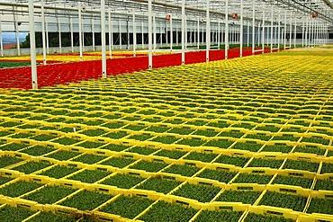 Seedlings in seed boxes in a greenhouse, nursery, Seeland region, Switzerland, Europe