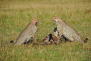Cheetah (Acinonyx jubatus) with prey, Wildebeest (Connochaetes taurinus albojubatus), young animal, Masai Mara, national park, Kenya, East Africa