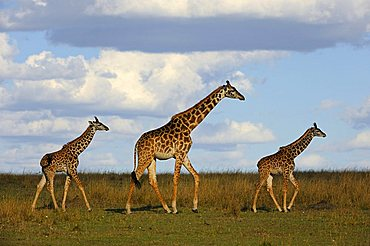 Group of Masai Giraffes (Giraffa camelopardalis tippelskirchi) on the steppe, female with two calves, Masai Mara Nature Reserve, Kenya, East Africa