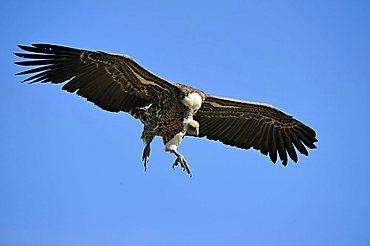 Rueppell's Vulture (Gyps rueppellii) in flight, Masai Mara Nature Reserve, Kenya, East Africa