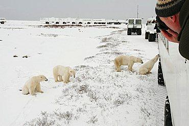 Tundra Buggy Lodge, Tundra Buggies and Polar Bears (Ursus maritimus) Churchill, Manitoba, Canada