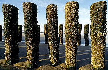 Old wooden groynes, moss-covered, coastal protection on the North Sea, Walcheren peninsula, Zeeland, Netherlands, Europe