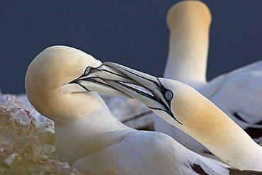 courtship behaviour of gannets