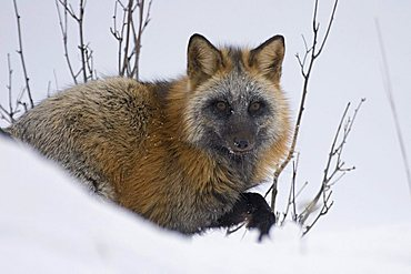 portrait of a cross fox in the snow