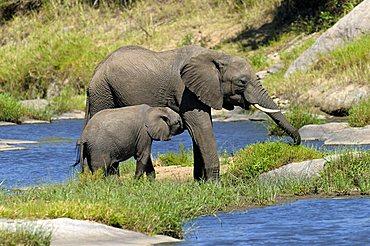 African Bush Elephant (Loxodonta africana), calf suckling, Masai Mara Nature Reserve, Kenya, East Africa