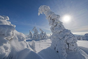 Backlit snow-covered pines, winter on Mt Brocken in the Harz, Blocksberg Mountain, Harz National Park, Saxony-Anhalt, Germany, Europe, Europe