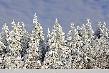 European Silver Fir (Abies alba), covered with snow and frost, Schauinsland Mountain, Black Forest, Baden-Wuerttemberg, Germany, Europe