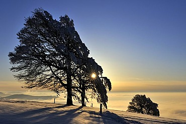 European Beech or Common Beech (Fagus sylvatica), distorted by wind and snow and frost, in front of the sunset, Schauinsland Mountain, Black Forest, Breisgau-Hochschwarzwald, Baden-Wuerttemberg, Germany, Europe