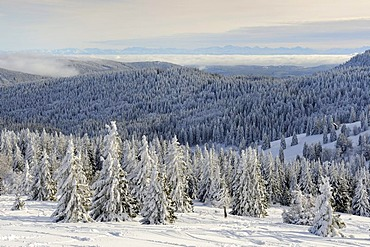 View from Mt. Feldberg on snow-covered Silver Firs (Abies alba), in the back the wooded hills of the high Black Forest, Landkreis Breisgau-Hochschwarzwald district, Baden-Wuerttemberg, Germany, Europe