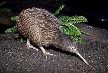Kiwi, New Zealand's heraldic animal