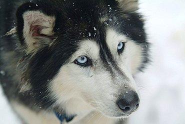 CAN, Canada, Quebec: sledge dog