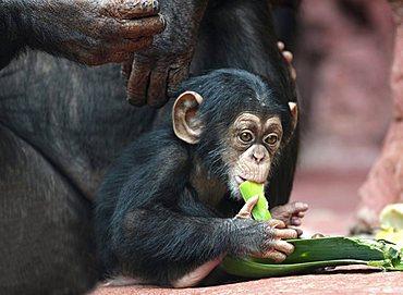 Common Chimpanzee or Robust Chimpanzee (Pan troglodytes), baby, in the Zoom Erlebniswelt, zoo in Gelsenkirchen, North Rhine-Westphalia, Germany, Europe