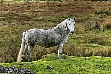 Connemara pony, County Galway, Republic of Ireland, Europe