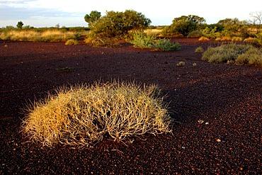 Spinifex Grass, Pilbara region, Western Australia, Australia