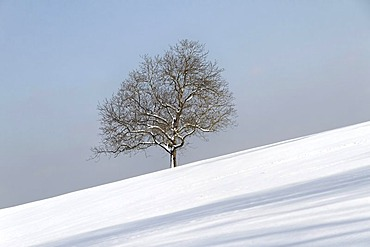 Oak tree (Quercus) in winter snow, Chiemgau, Upper Bavaria, Germany, Europe
