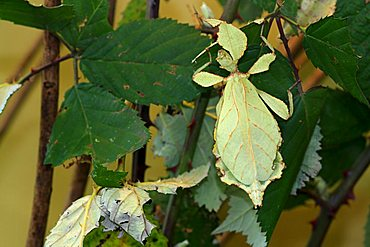Walking - or Celebes Leaf Insect (Phyllium celebicum)