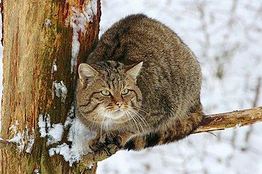 Wildcat (Felis silvestris), sitting in a tree