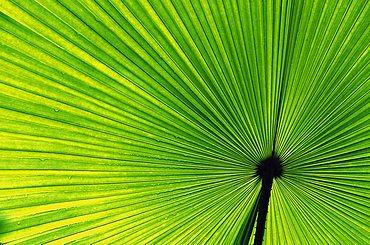 Palm-leave, Vallee de Mai Nationalpark, Praslin, Seychelles Islands, Africa