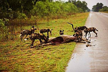 African wild dogs (Lycaon pictus), with a kudu (Tragelaphus strepsiceros) carcass, Zimbabwe, Africa