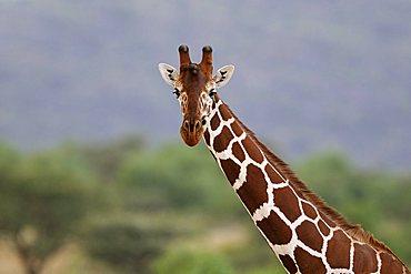 Somali Giraffe or Reticulated Giraffe (Giraffa camelopardalis reticulata), portrait, Samburu National Reserve, Kenya, Africa
