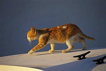 Yellow-brown kitten walking