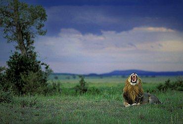 Lion before a thunderstorm ( Panthera leo) - Masai Mara - Kenya