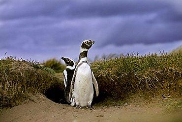 Magellanic Penguins (Spheniscus magellanicus) in front of their cave, near Punta Arenas, Patagonia, Chile