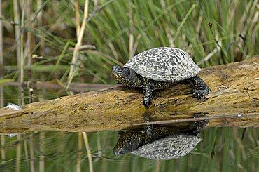 European pond terrapin, European pond turtle or European pond tortoise (Emys orbicularis)