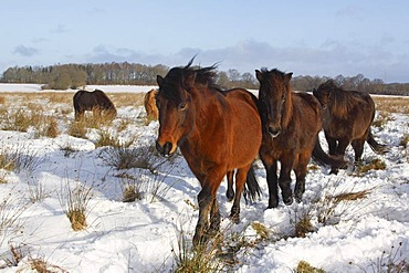 Icelandic Horses, Icelandic Ponies (Equus przewalskii f. caballus) in winter in snow