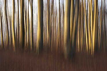 Beech forest in fall, wiping effect