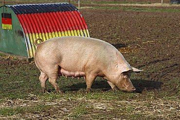 Free-range pigs, Petershagen, North Rhine-Westphalia, Germany