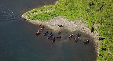 Aerial view, aurochs at the Ruhr river, Homberg, Hattingen, Ruhrgebiet region, North Rhine-Westphalia, Germany, Europe