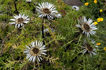 Stemless Carline Thistle or Silver Thistle (Carlina acaulis, Asteraceae)