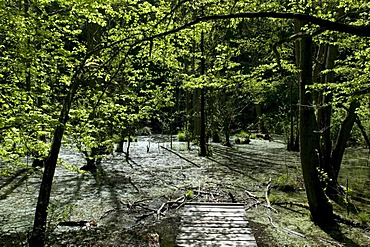 Wooden walkway over wetlands in Jasmund National Park, Isle of Ruegen, Mecklenburg-Western Pomerania, Germany, Europe