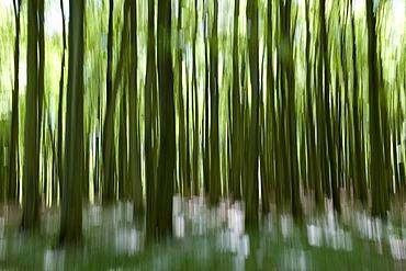 Beech forest in Jasmund National Park, Isle of Ruegen, Mecklenburg-Western Pomerania, Germany, Europe