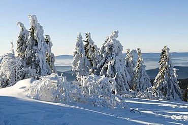 Snow-covered pine trees on the summit plateau of the Grosser Arber, Bavarian Forest Nature Park, Bavaria, Germany, Europe